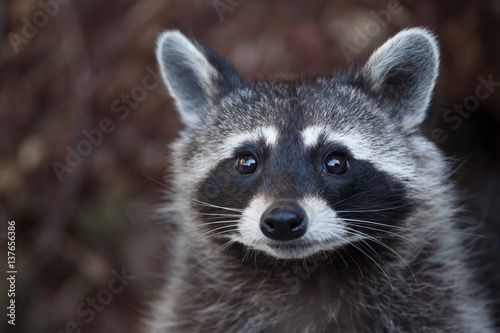 Photo Raccoon (Procyon lotor)