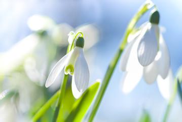 Fototapeta Schneeglöckchen (Galanthus sp.) im Frühling, Frühlingserwachen, März, Niedersachsen, Deutschland, Europa