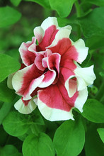 Beautiful Red Petunia Flower With White Petals Edges