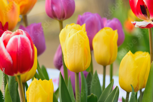 Fototapety, obrazy: Macro background of multi colored tulip flowers in horizontal frame