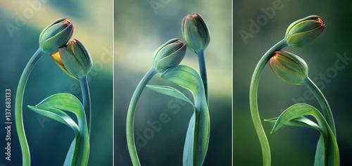 Fototapety, obrazy: Tulipany na zielonym tle - tryptyk