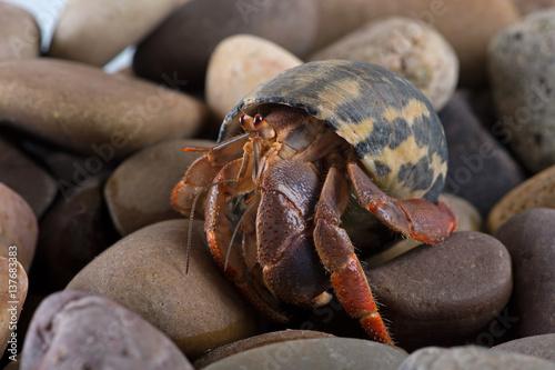 Caribbean Hermit Crab (Coenobita clypeatus)/Caribbean Hermit Crab on wet stones