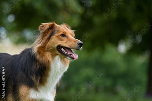 Foto  Australian Sehpherd Mix Hund beim Spielen im Park