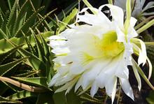 Selenicereus Grandiflorus Cactus In Tropical Garden.Queen Of The Night Cactus Flowers.Blooming Cactus With White Flowers.
