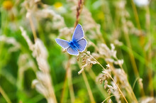 Little Blue Butterfly Sitting On The Grass. Wildlife Nature Macro Photo