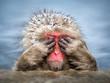 canvas print picture - Lustiger Affe versteckt sich