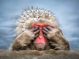 Fototapeta Zwierzęta - Lustiger Affe versteckt sich