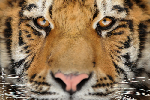 Valokuva Tiger portrait. Aggressive stare face. Danger look.