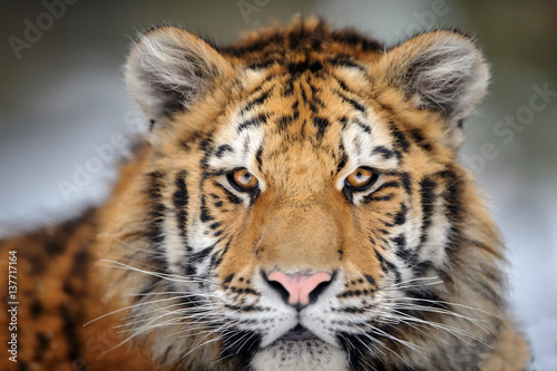 Valokuvatapetti Tiger portrait. Aggressive stare face. Danger look.