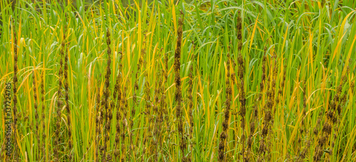 Fotografie, Obraz  Lake river sedge closeup at autumn. Colorful grass background