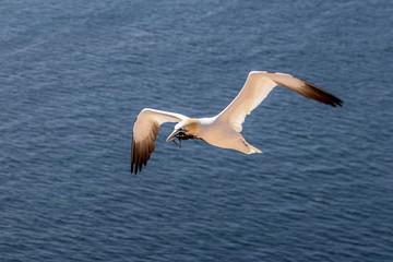 Fototapeta na wymiar Northern gannet on Helgoland