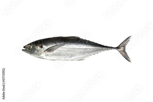 Fotografija torpedo scad (Finny scad, Finletted mackerel scad)  isolated on white