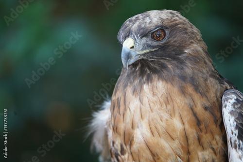 Beautiful Hawk Portrait Poster
