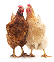 Two Brown Chickens.