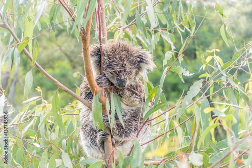 Printed kitchen splashbacks Squirrel Wet Koala bear sleeping in a tree