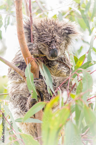 Wet Koala Bear Sleeping In A Tree Buy This Stock Photo And Explore Similar Images At Adobe Stock Adobe Stock