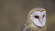 Barn Owl Extreme Close up of face