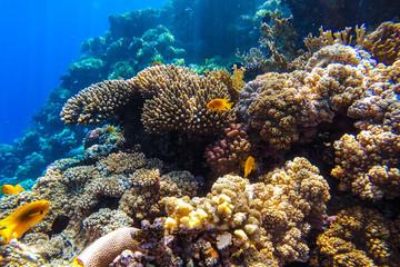 Fototapeta na wymiar red sea underwater coral reef