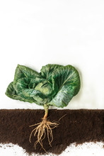 Cabbage. Growing Plant Isolated On White Background