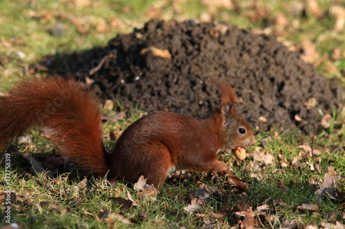 Aluminium Prints Squirrel Eichhörnchen mit Nussfrucht im Mund
