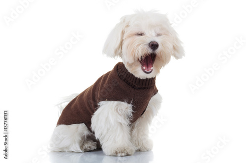 Valokuvatapetti bichon puppy dog wearing clothes is screaming