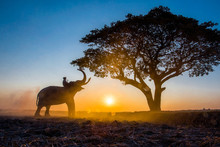 The Silhouette Of A Person Riding An Elephant And Trees At The Sunset Time