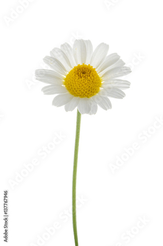 Chamomile isolated on white background. without shadow
