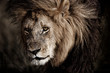 Portrait of old Lion Lipstick in the wilderness of Masai Mara, Kenya