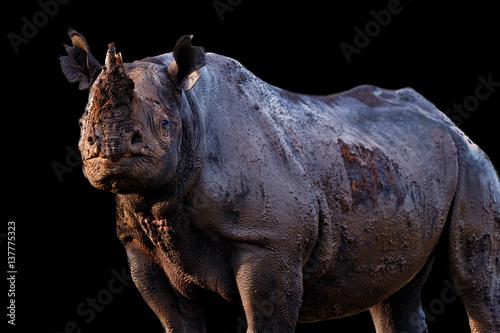 Poster Rhino Close up of aBlackRhino in the wilderness in Masai Mara, Kenya