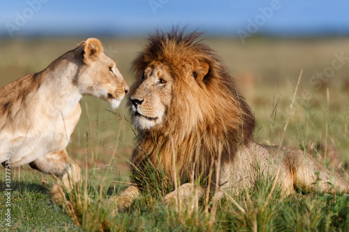 Photo  Lion Scarface with Lionessat mating time in Masai Mara,Kenya