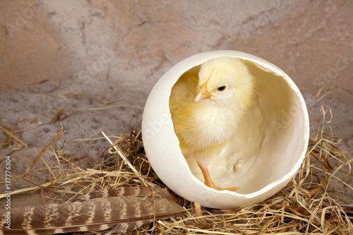 Fotografie, Obraz  Large egg small yellow chick