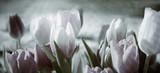 Fototapeta Kwiaty - tinted tulips concept