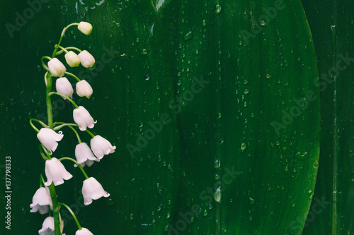 In de dag Lelietje van dalen flower Lily of the valley on a background of green leaves in drops of water with space for text