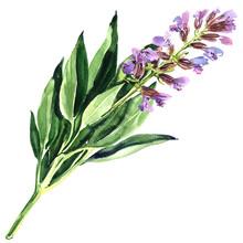 Spring Purple Sage Flower Or B...
