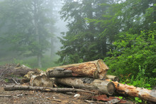 Logged Trees In Beech-Fir Fore...