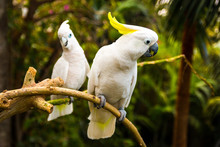 Two White Cockatooes In Loro Park In Tenerife