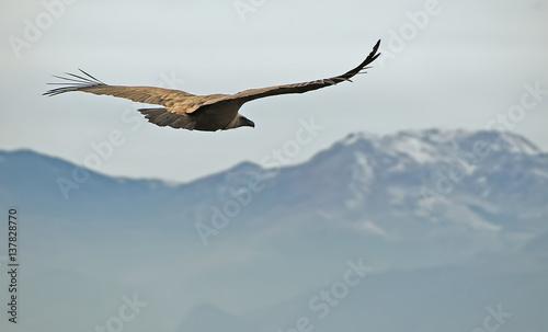 Vulture, in the natural park of Cazorla, Segura and Las Villas.
