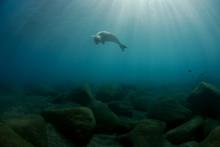 Mediterranean Monk Seal Juveni...