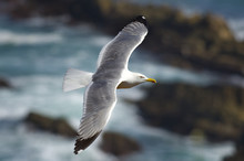 Yellow Legged Gull (Larus Mich...