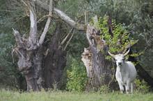 Hungarian Grey Cattle Standing Near Tree Stumps, Mohacs, Béda-Karapancsa, Duna Drava NP, Hungary, September 2008