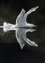 Herring Gull (Larus Argentatus) Showing Aggression On Water, Flatanger, Nord-Trøndelag, Norway, August 2008