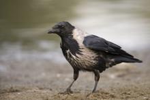 Hooded Crow (Corvus Cornix) Elbe Biosphere Reserve, Lower Saxony, Germany, September 2008