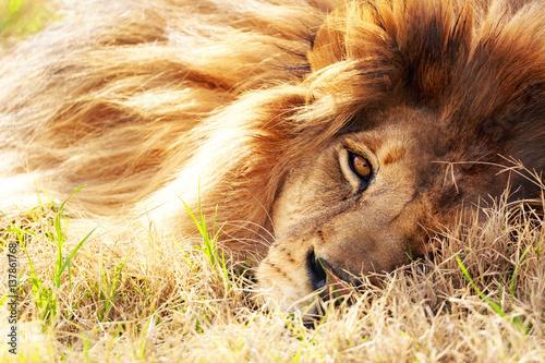 zblizenie-afrykanskiego-lwa-lezacego-w-trawie