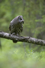 Great Grey Owl (Strix Nebulosa...
