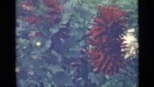 1967: Red And White Flowers With Pointed And Slim Petals Grow In Garden Bed RUSSIA