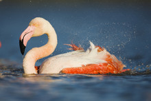 Greater Flamingo (Phoenicopter...