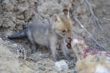 Corsac Fox Cub Feeding On Hare Carcass, Russia