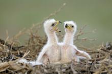 Steppe Eagle Chicks In Nest, Cherniye Zemli Nature Reserve