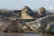 Grey Seal (Halichoerus Grypus) Group With Two Looking, Donna Nook, Lincolnshire, UK, November 2008