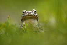 European Green Toad (Bufo Viri...
